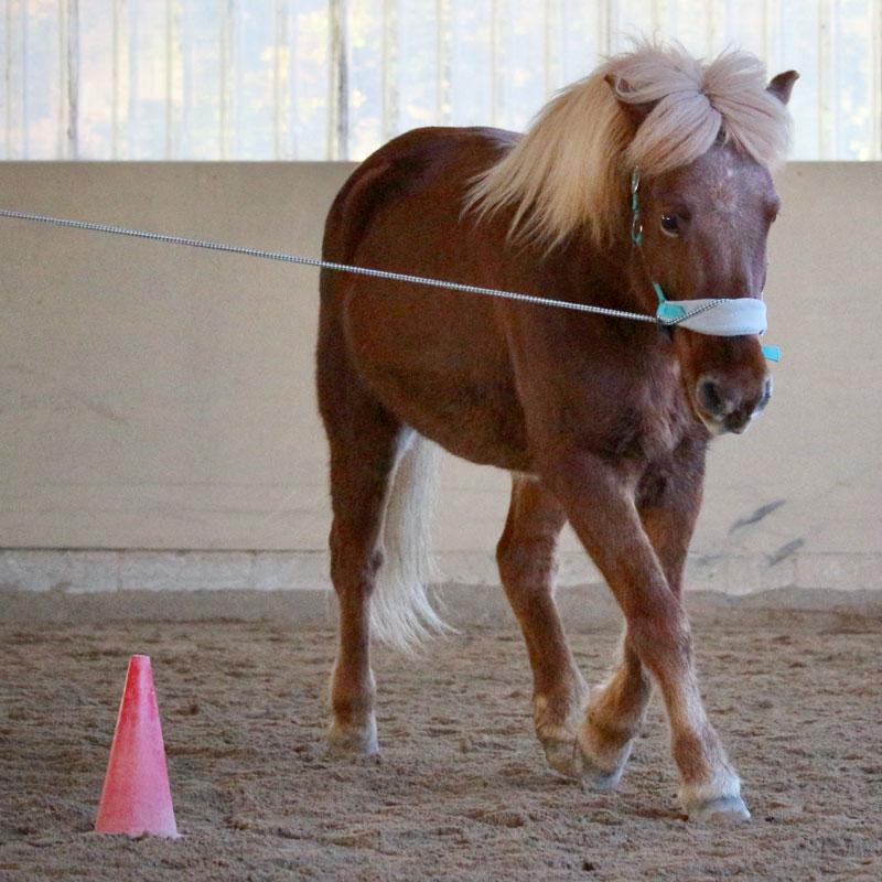 Pferd läuft an der Longe auf dem Zirkel.